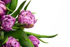 Purple tulips. Isolated on white background Royalty Free Stock Image