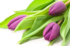 Purple tulips. Fresh purple tulips on white background Stock Photography