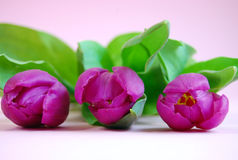 Purple Tulips. Three purple tulips laying on a pink background Royalty Free Stock Photography