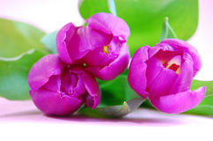 Purple Tulips. Three purple tulips laying on a pink background Royalty Free Stock Photo