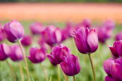 Purple tulips Stock Photo