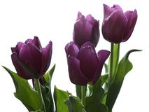 Purple tulips. On white background Royalty Free Stock Images