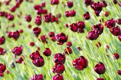Purple tulips Royalty Free Stock Photo