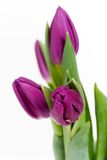 Purple tulips. Isolated on white Royalty Free Stock Images