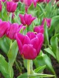 Purple Tulips. Field of purple tulips royalty free stock photo
