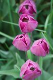 Purple Tulips. Portrait view, narrow DOF Stock Image
