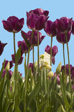 Purple Tulips. Beautiful purple tulips bloom in the Spring near Easter time, set against blue sky background Stock Images