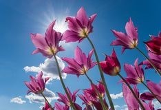 Purple tulips against blue sky with sun and clouds. Worms eye view Royalty Free Stock Images