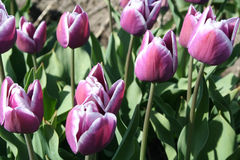 Purple tulips  as far as the eye can see, attracts many tourists. Royalty Free Stock Photos
