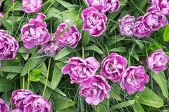 Purple tulips background. Overhead view of blooming purple tulips with white edges Royalty Free Stock Photos