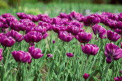 Purple Tulips. Beautiful field of purple tulips Royalty Free Stock Images