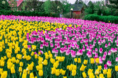 Purple Tulips. Beautiful field of purple and yellow tulips Royalty Free Stock Photos
