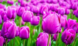 Purple tulips. Beautiful purple tulips in garden Stock Photography