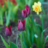 Purple tulips. Beautifully flowered purple tulip flowers on a sunny spring day flower garden Stock Photos