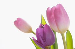 Purple Tulips in bloom Royalty Free Stock Images