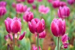 Purple tulips in bloom Royalty Free Stock Photography