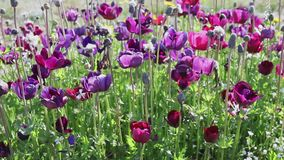Purple tulips in bloom. Purple flowers of tulips in bloom ,hornet flies on petals , sunny and windy day stock video footage