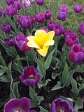 Purple tulips bloomed in spring, one against all stock images