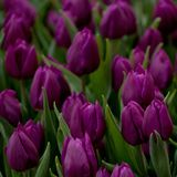 Purple tulips blooming in the park or in the garden. Beautiful purple closed tulips in a field or on a lawn stock photos