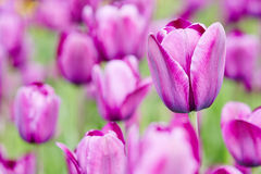 Purple tulips blooming in spring Stock Images