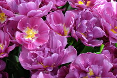 Purple tulips. Purple blossomed dutch tulips background Stock Images