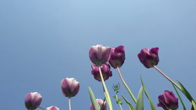 Purple Tulips Blowing in the Wind. The wind move purple tulips back and forth stock footage