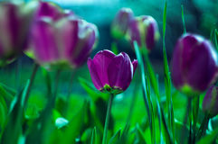 Purple tulips. With blur background and green grass in spring Stock Photos
