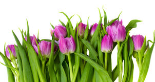 Purple tulips border Stock Photos