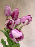 Purple tulips bouquet. Close-up royalty free stock photo