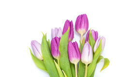Purple tulips bouquet. On white background Royalty Free Stock Photos