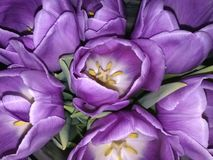 Purple Tulips. Bright and gorgeous purple tulips in full bloom Stock Photography