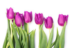 Purple tulips. Bright purple tulips isolated on white background Stock Photo