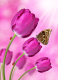 Purple tulips. With butterfly Morpho Royalty Free Stock Photography