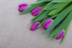 Purple tulips on canvas background Stock Image