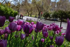 Purple Tulips in Central Park. Some oddly purple tulips found in Central park. Mid-later stage of bloom Royalty Free Stock Image