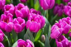Purple Tulips close-up Royalty Free Stock Photo