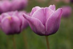Purple Tulips Close Up Royalty Free Stock Photo