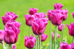 Purple tulips, close up view Royalty Free Stock Photo