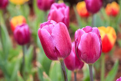 Purple tulips closeup Stock Image