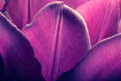 Purple tulips closeup macro. Petals of purple tulips close-up macro background texture. Old retro style photo. Purple tulips closeup macro. Petals of purple Royalty Free Stock Photos