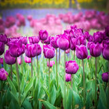 Purple tulips closeup in the park Stock Photography
