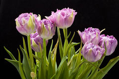 Purple tulips crispa Stock Photo