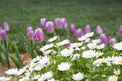 Purple tulips and daisies, spring background stock photos
