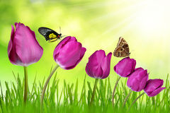 Purple tulips with dewy grass. And butterflies Stock Photos
