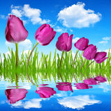 Purple tulips. With dewy green grass on blue sky Stock Images