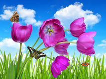 Purple tulips. With dewy green grass and butterflies Royalty Free Stock Photography