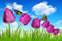 Purple tulips. With dewy green grass and butterflies Stock Photo