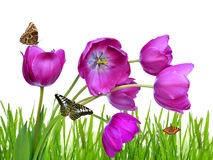 Purple tulips. With dewy green grass and butterflies Stock Images