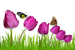 Purple tulips. With dewy green grass and butterflies isolated Royalty Free Stock Photos