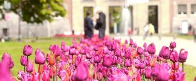Purple Tulips Royalty Free Stock Image
